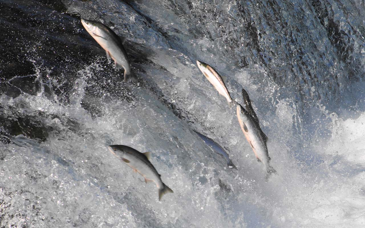 salmon, magnetic, life, facts, abilities, animals, survival, wilderness