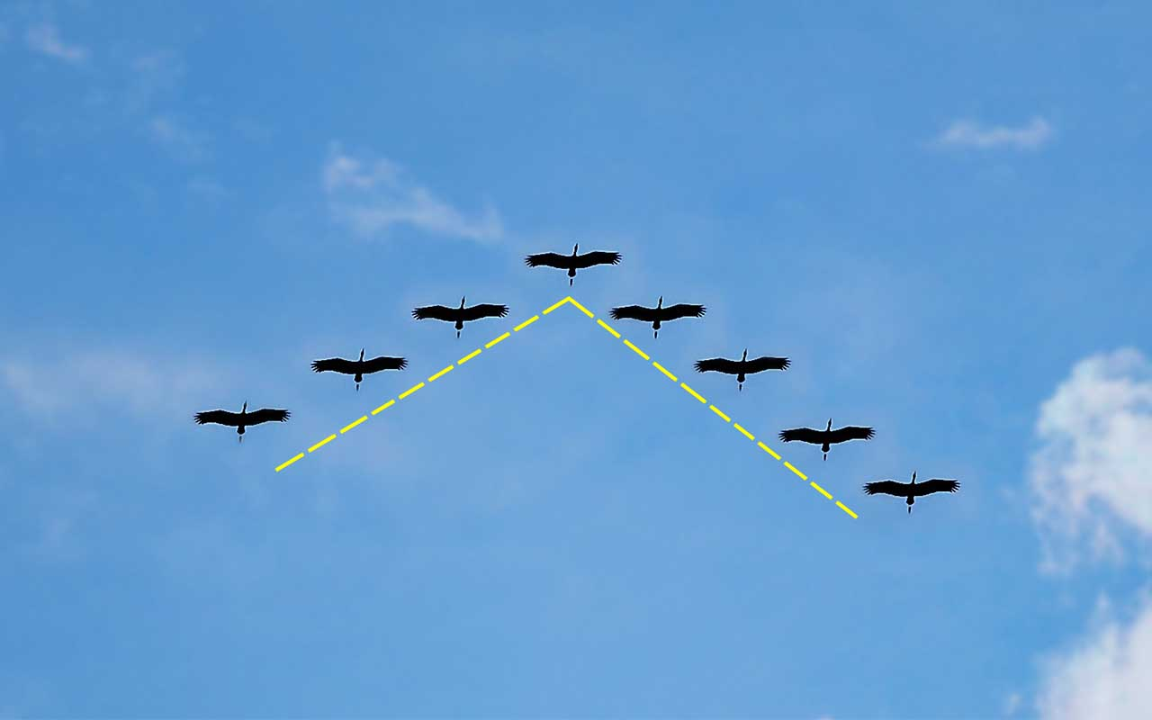 v-formation, birds, animals, interesting, life, people, facts