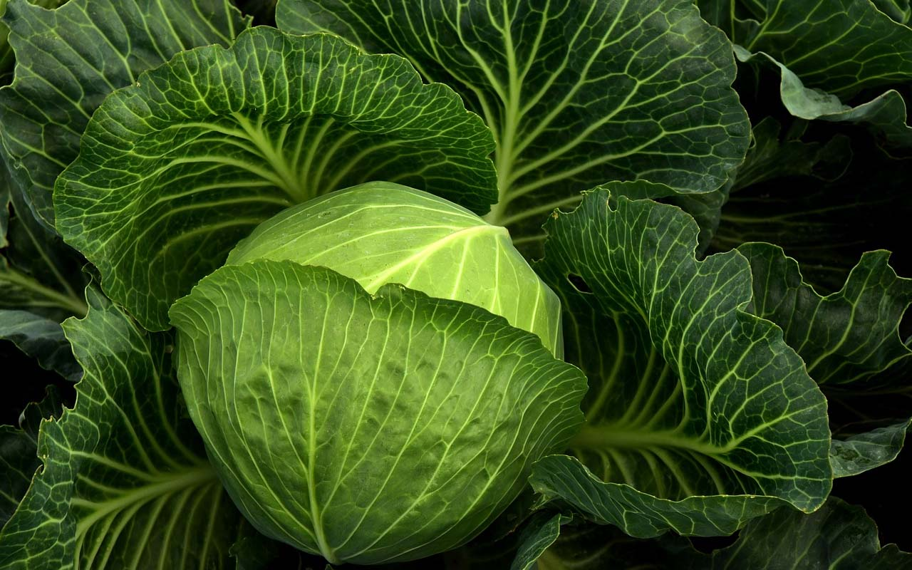 cabbage, cultivation, farmer, life, facts, people, Nature