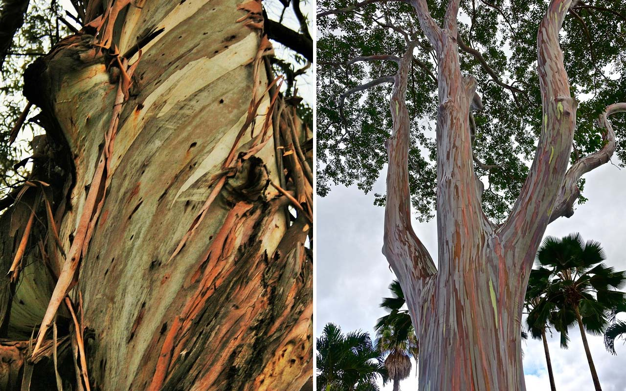Eucalyptus, facts, plants, life, plant, nature, weird