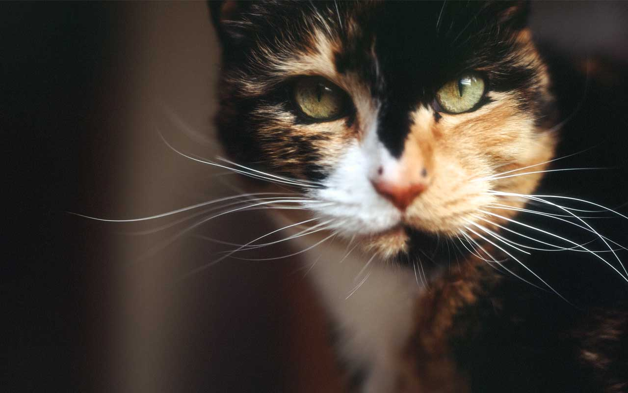 Calico, cat, animals, friends, facts, party, life, people