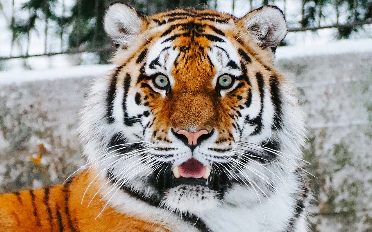 tigers, wild, nature, Texas, country, life, facts, amazing facts