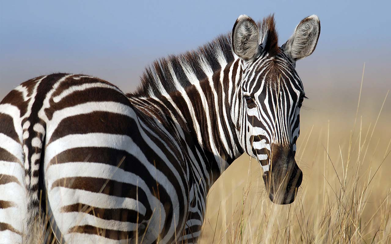 answers, questions, zebra, black, white, stripes, animals, facts