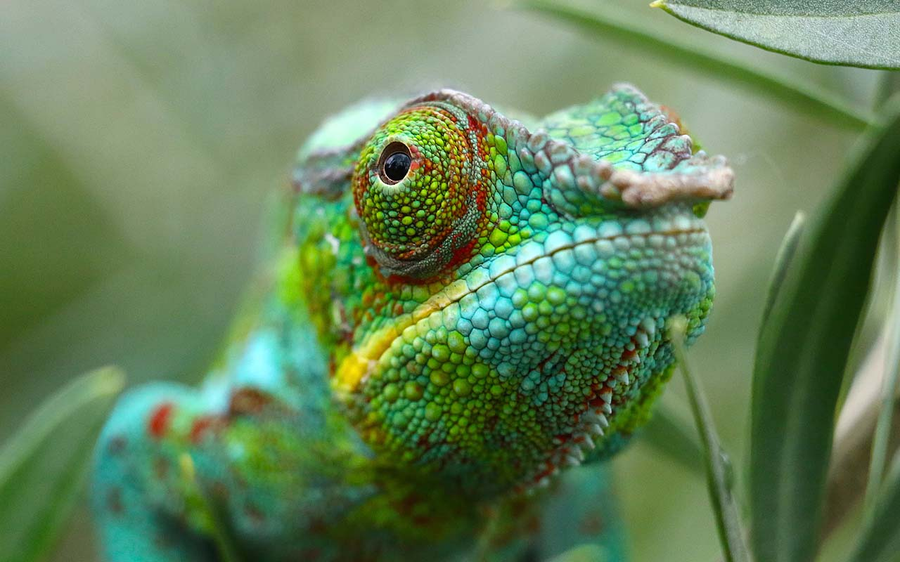 chameleon, facts, life, people, health, nature, animals, answers