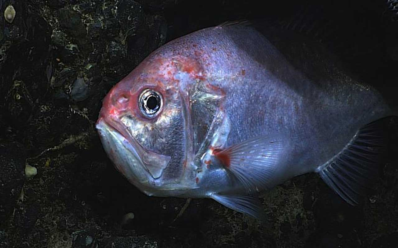Orange Roughy, facts, life, marine, life, mammal, survival, living, fossil