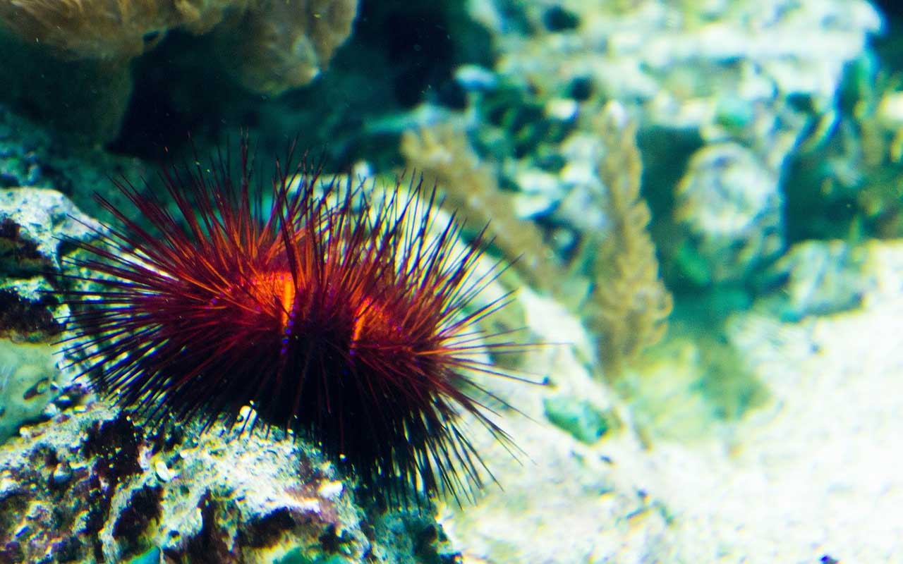 red sea urchin, facts, marine, life, people, living, life, animals