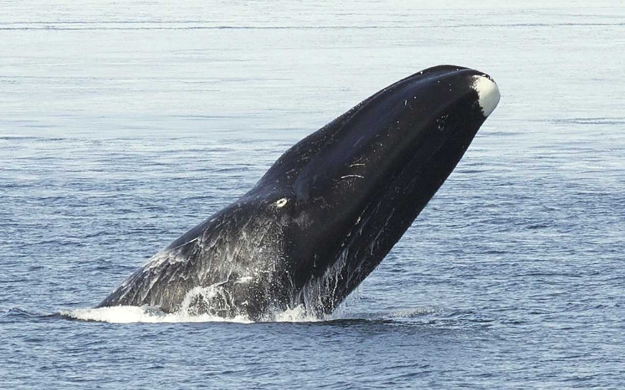 Bowhead whale, facts, animals, living, life, nature, Earth, planet