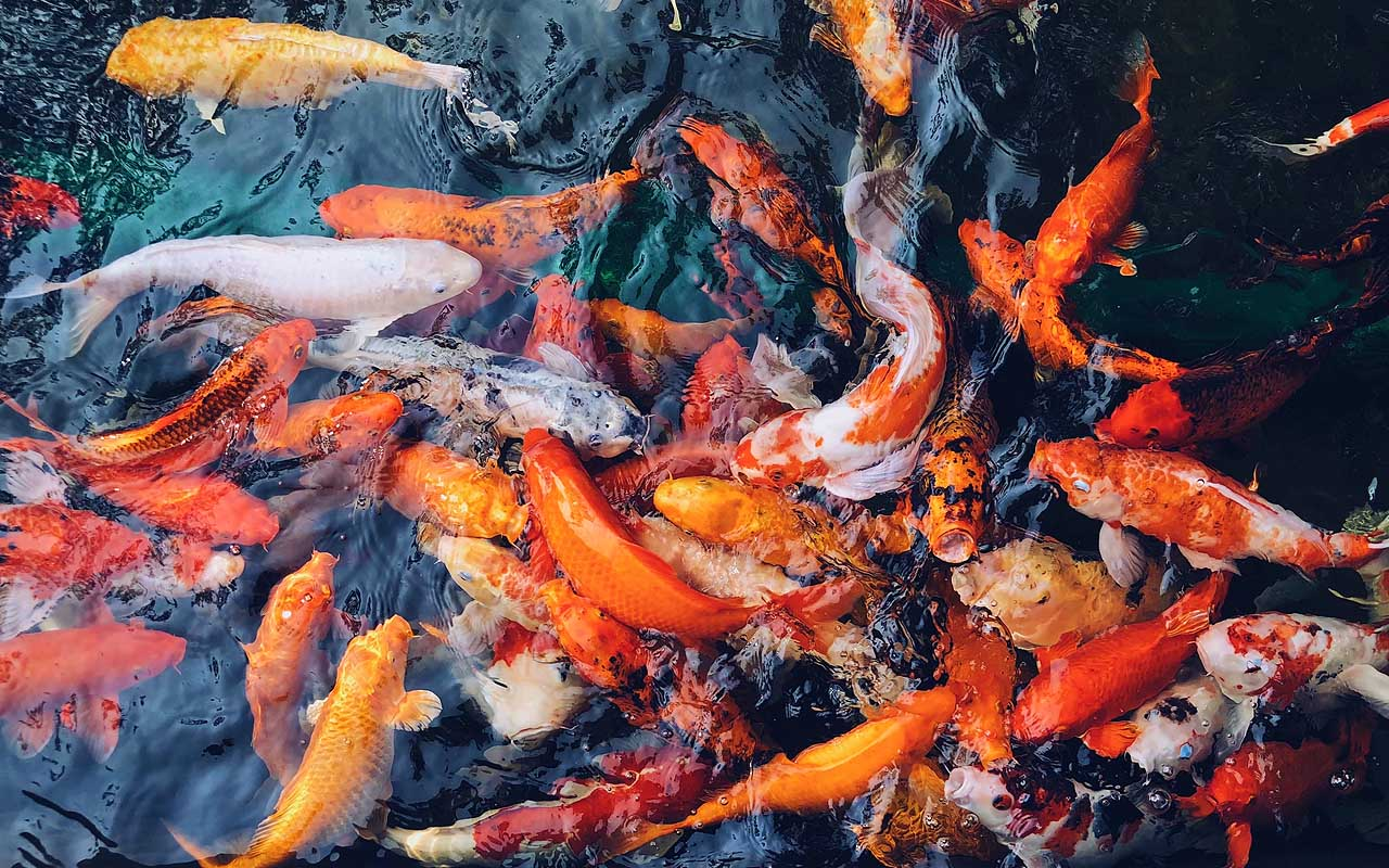 Koi fish, animal, life, people, survival, Earth, nature