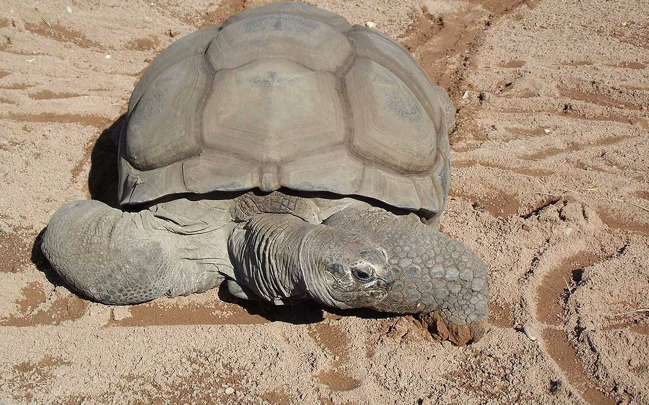 Aldabra, giant tortoise, facts, life, nature, Earth, planet, survival, living