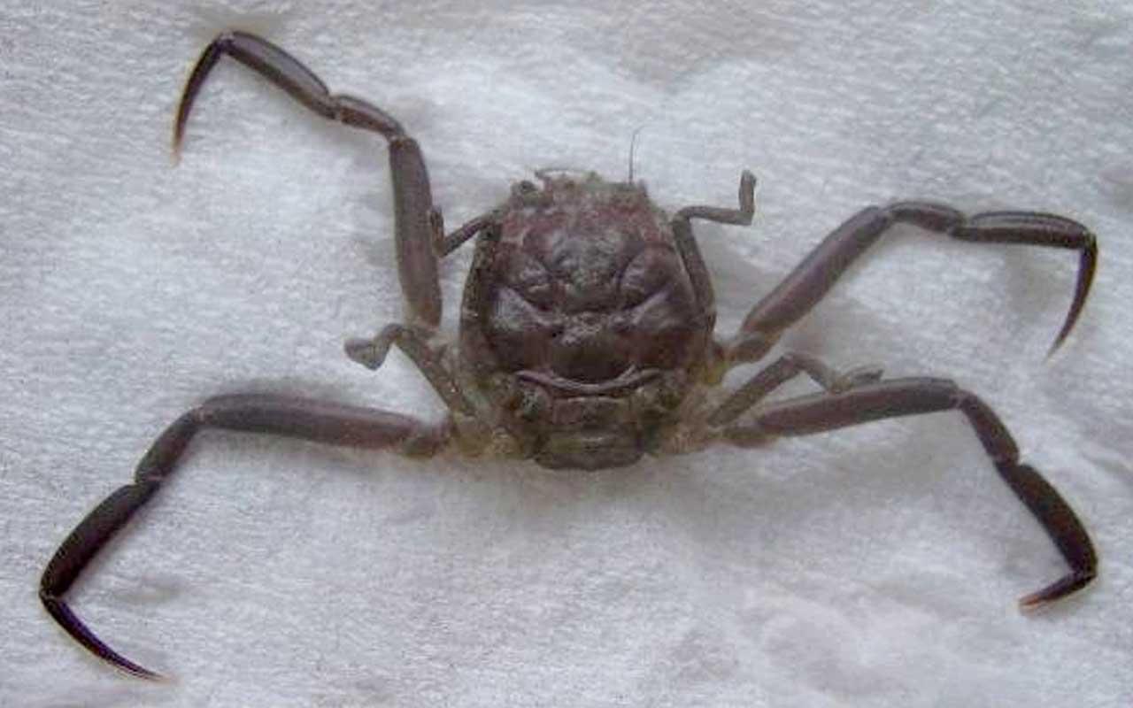Heikegani, crab, Japan, facts, life, ridiculous