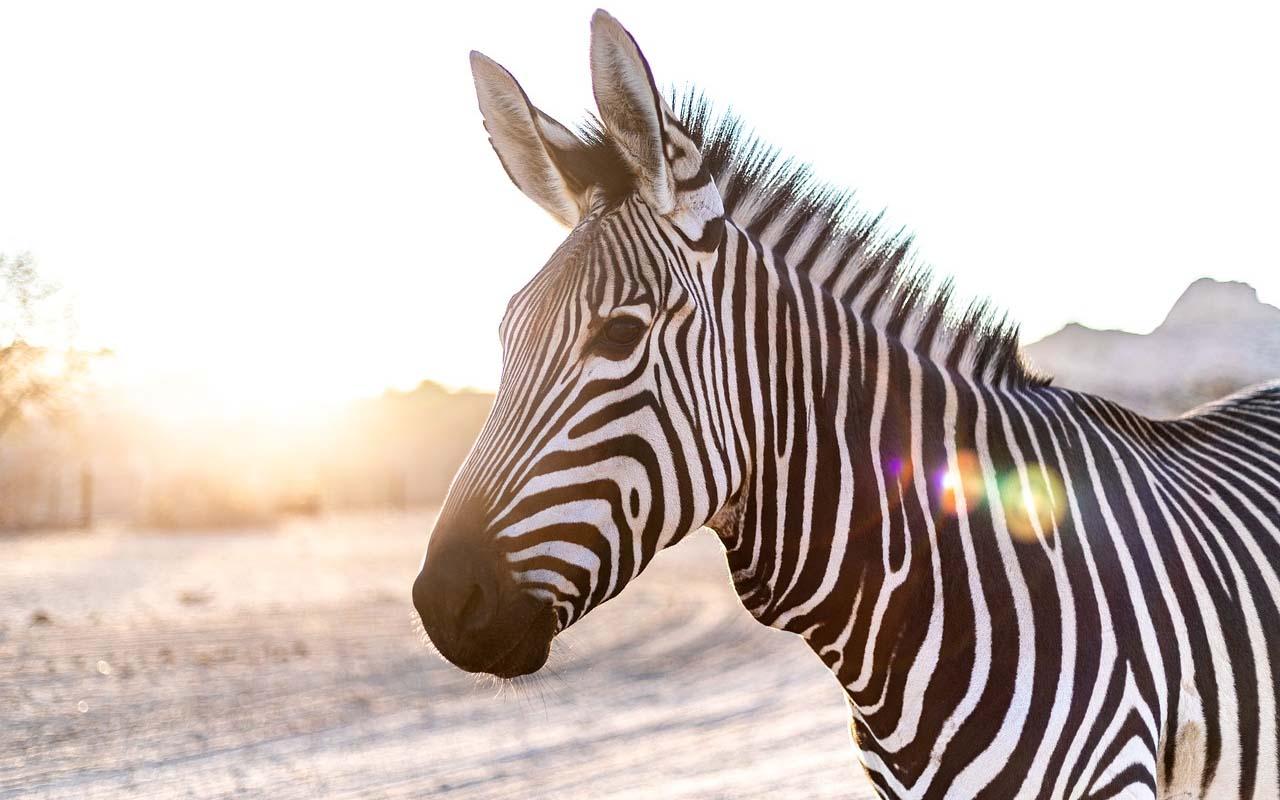 zebra, light, stripes, white, black, animal, nature, Africa, facts, Earth