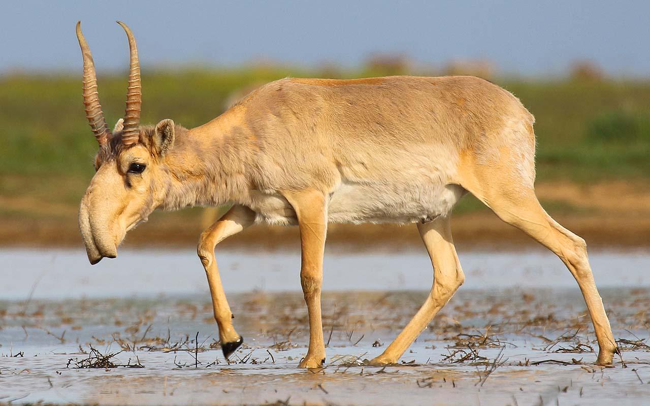 saiga antelope, nose, air, temperature, science, animal, nature, Earth, facts