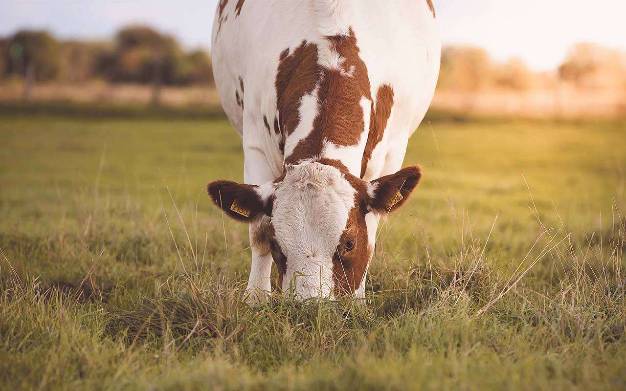 cow, animal, calf, facts, people, nature, planet, Earth, smart features