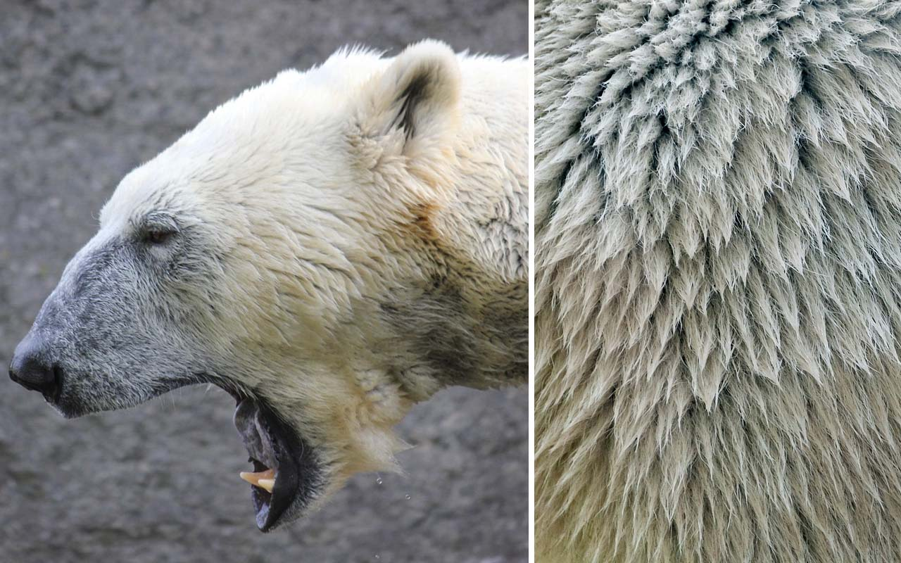 polar bear, facts, animal, Antarctica, facts, nature, color