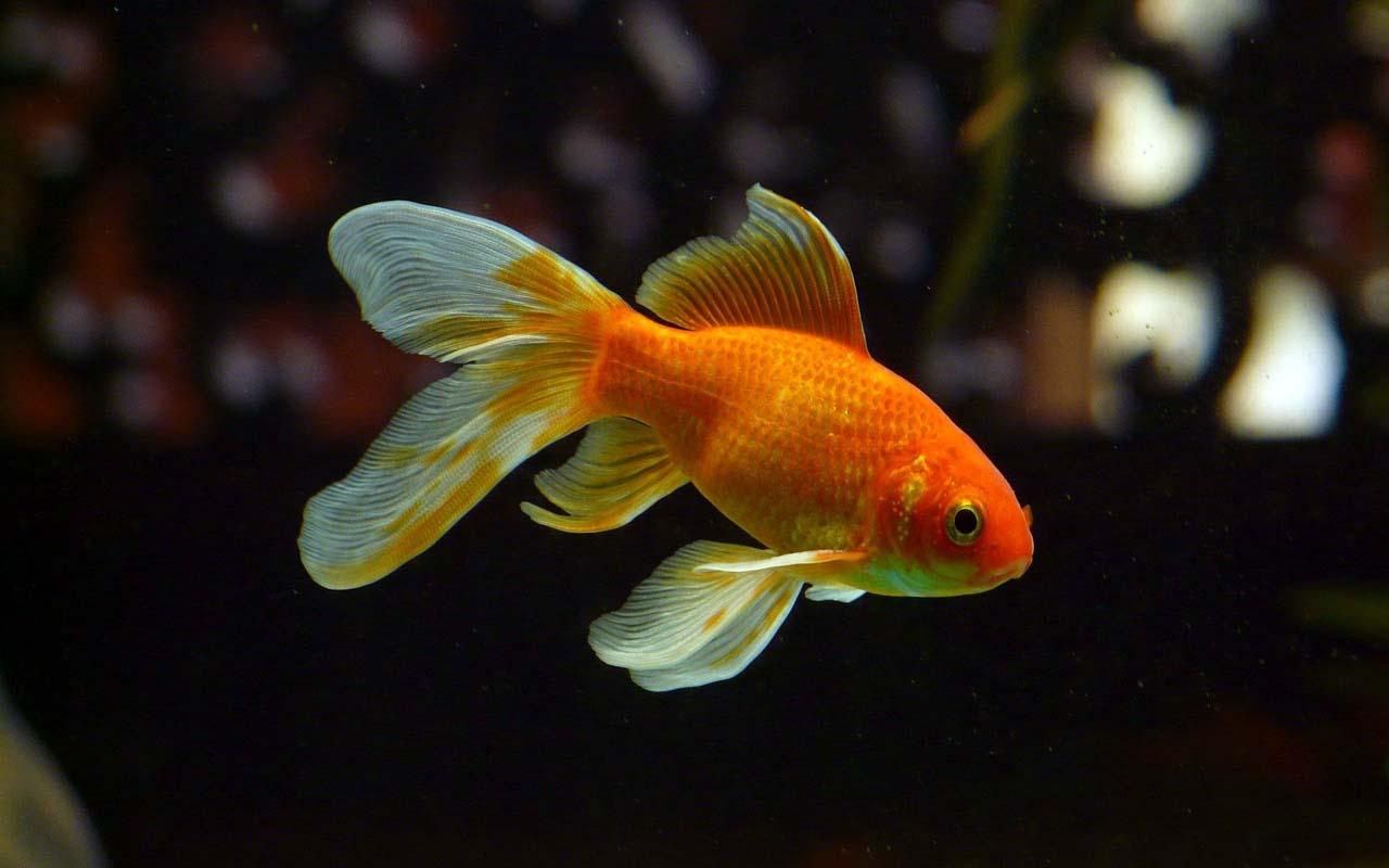 goldfish, color, pigment, facts, life, nature, animals, ocean, pet