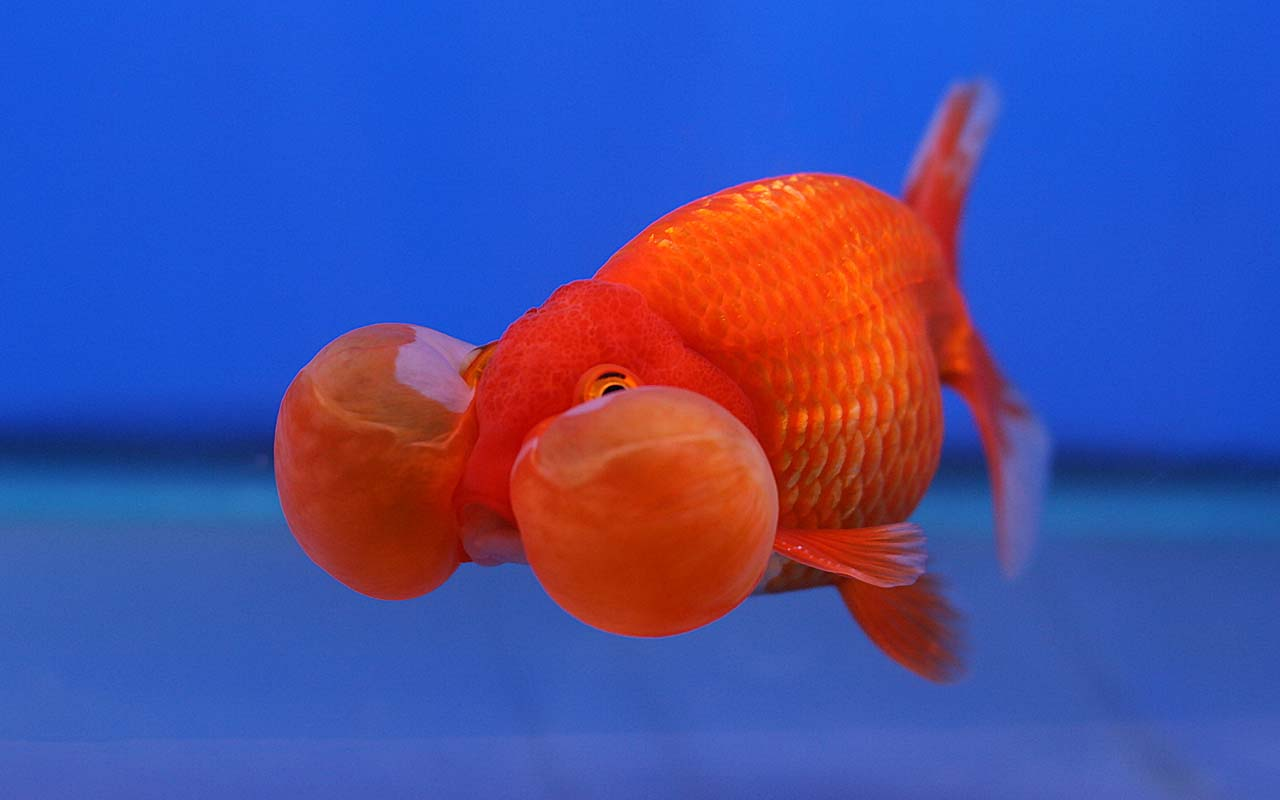 goldfish, facts, life, myths, memory, remember, urban legend, life, ocean