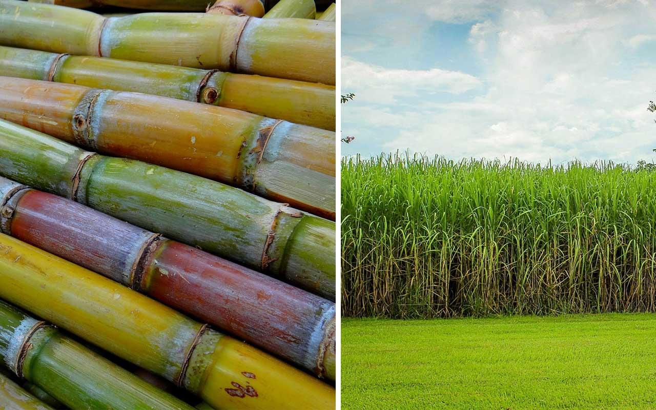 sugarcane, food, sugar, farming, farmer, facts, everyday