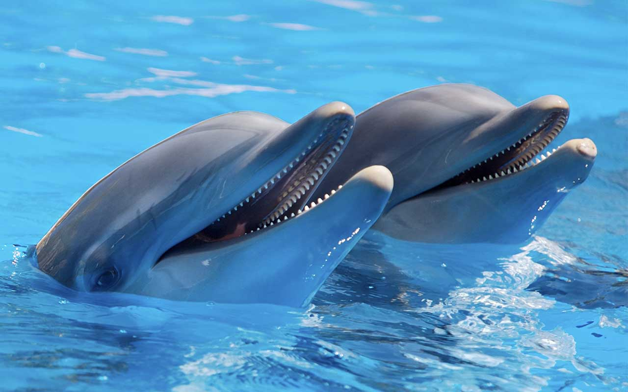 dolphins, animals, mammals, sea, ocean, whistle, life, false, nature