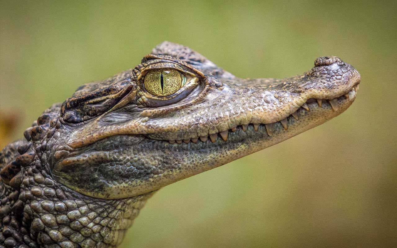 crocodile, immortal, facts, people, life, nature, animals