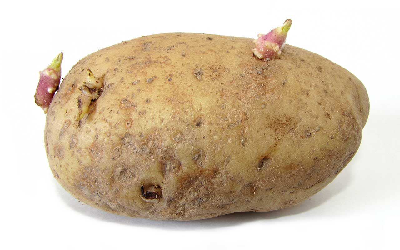 sprouted potatoes, facts, food, life, facts, science