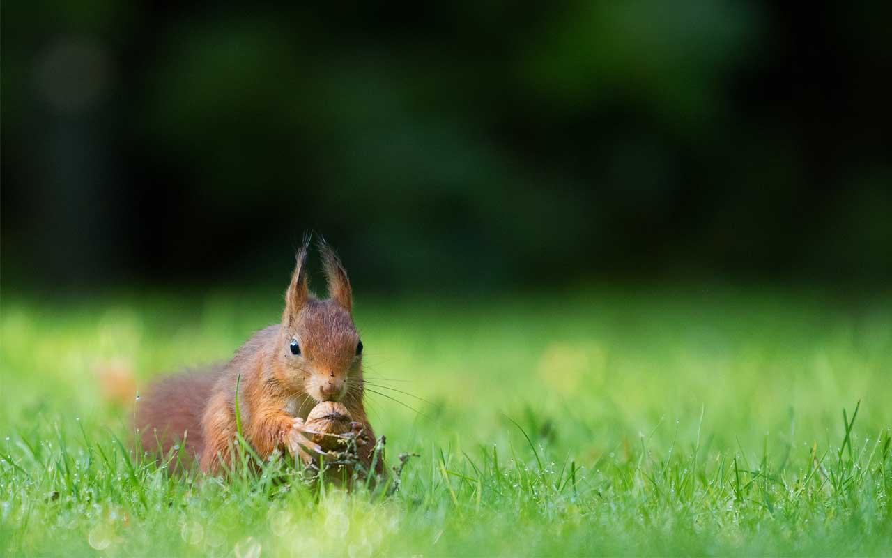 squirrel, nuts, tree, acorns, facts, animals