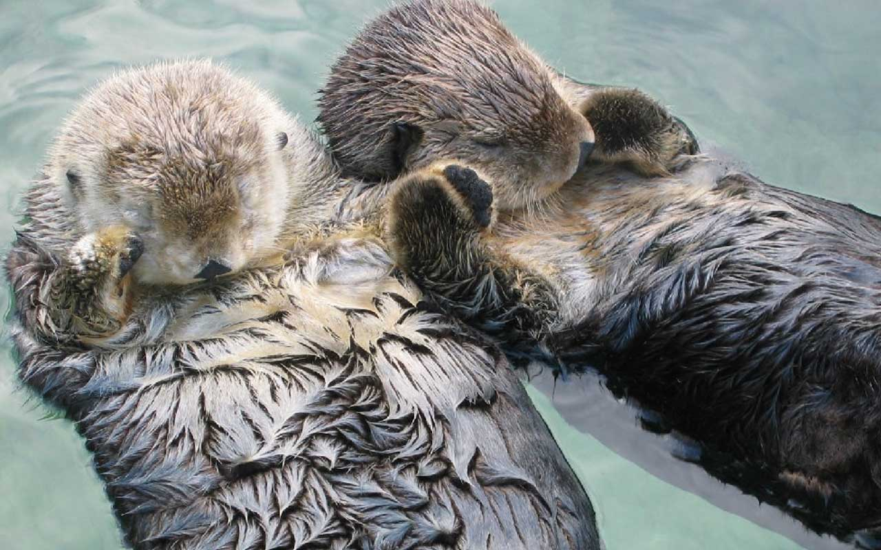 otters, holding hands, cute, sleeping, facts, nature, animals