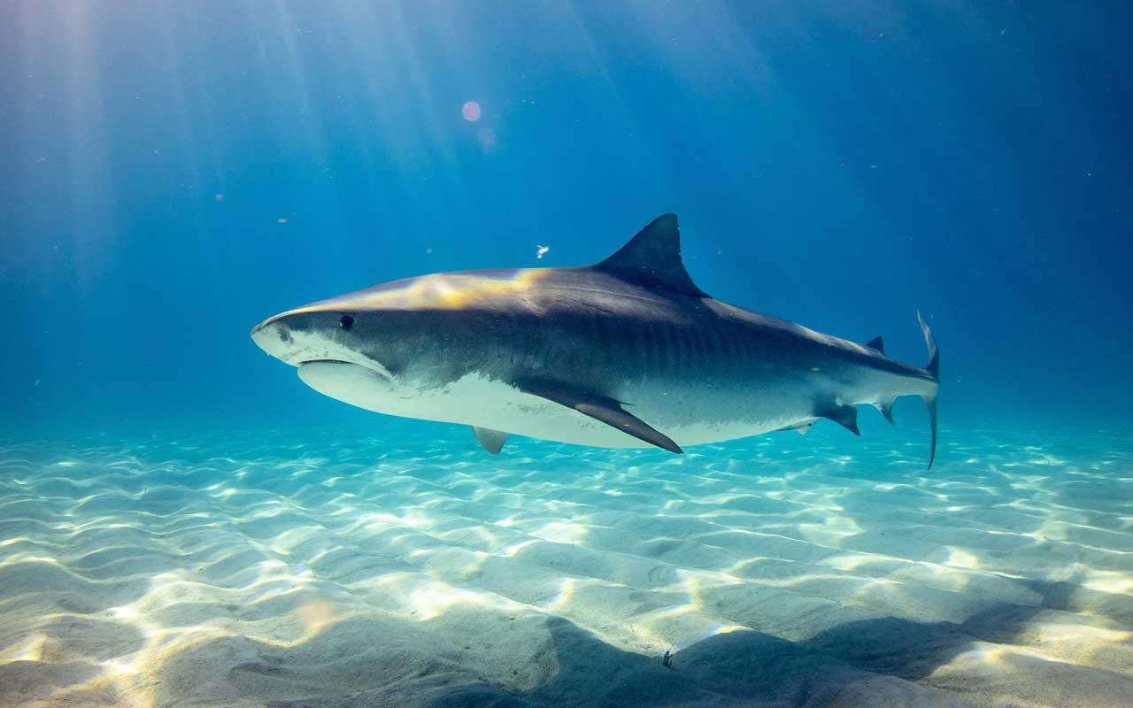 great white shark, White shark cafe, winter, summer, hot, climate, migration