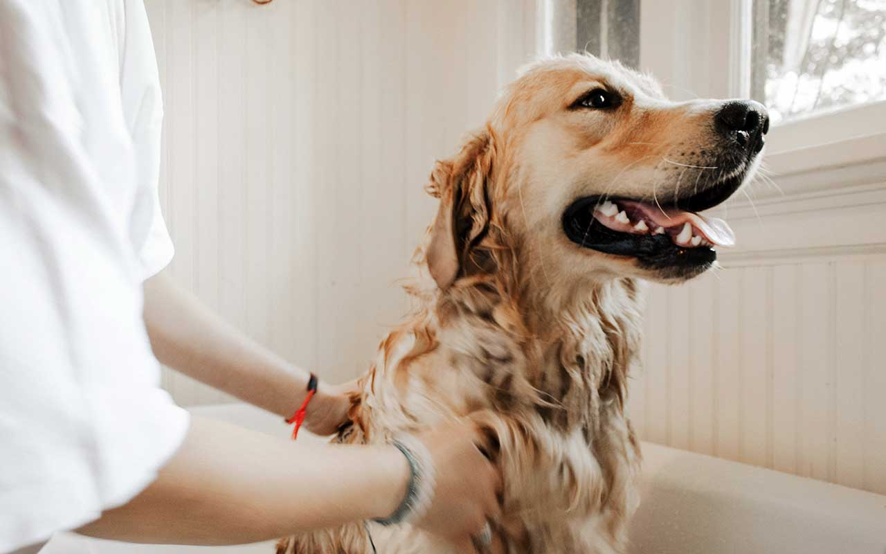 dogs, pay, golden retrievers, facts, animals, life