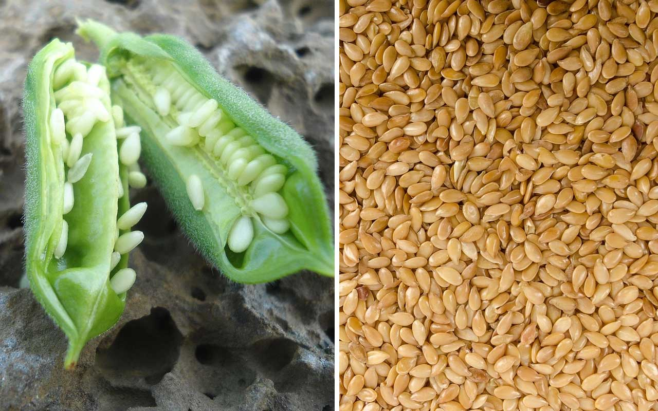sesame pod, seeds, food, life, entertainment, cooking, kitchen