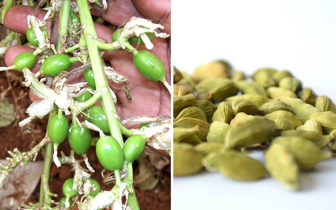 cardamom, food, spice, expensive, facts, science,