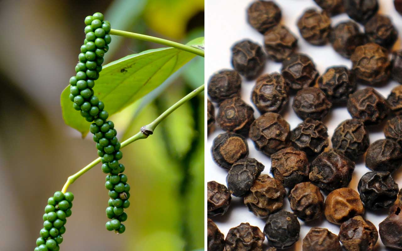 Black pepper, facts, spice, life, cooking, nature