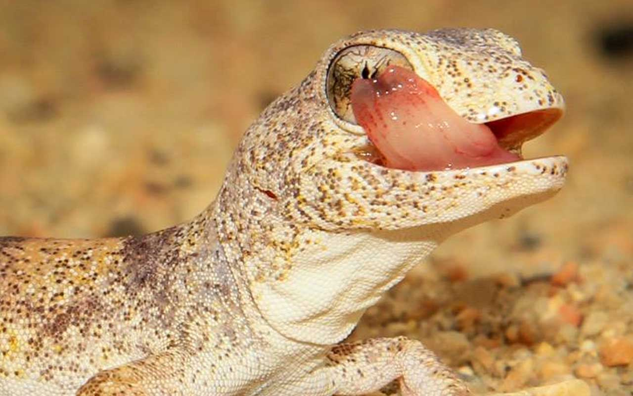 gecko, Namibia, facts, science, desert, animals