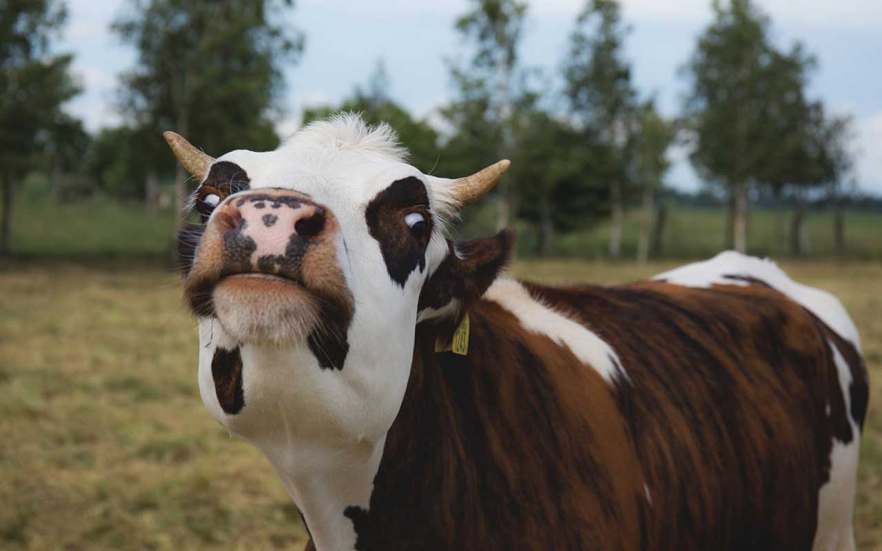 cow, accent, facts, science, study