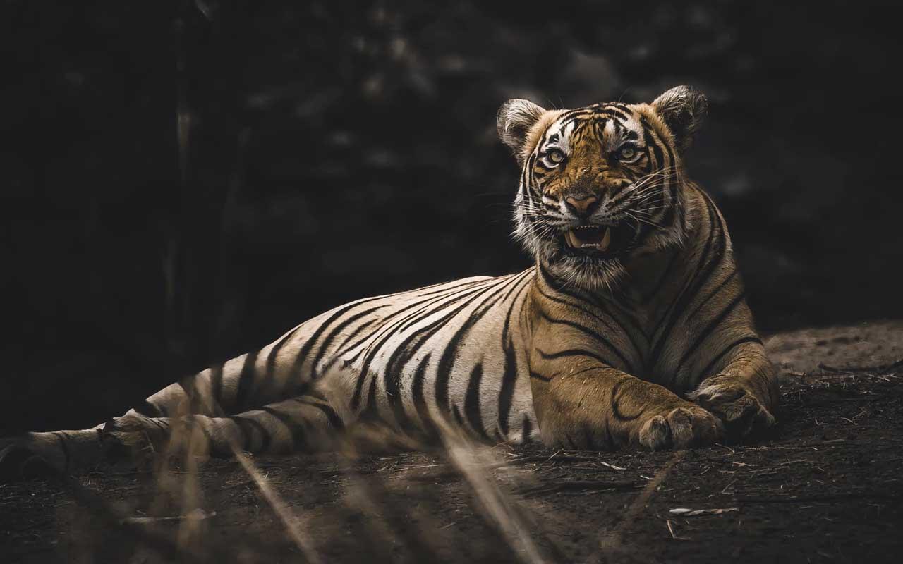 tigers, revenge, facts, people, life, animals, nature, amazed