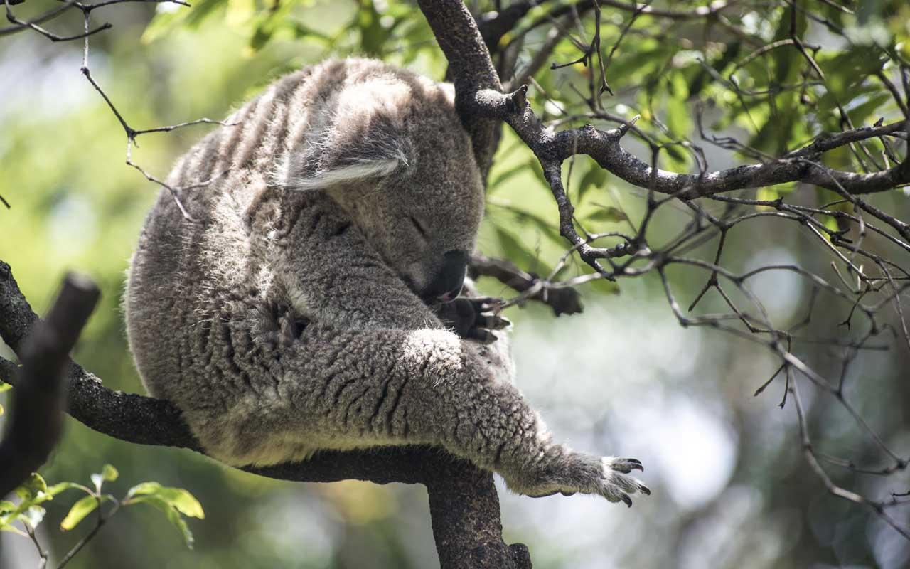 koala, sleepy, facts, animals, nature,
