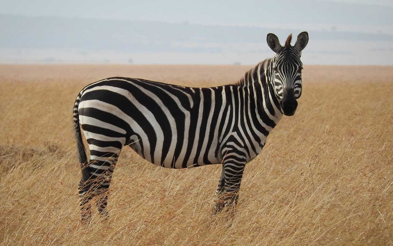 zebra, facts, animals, bugs, mosquitoes, Africa
