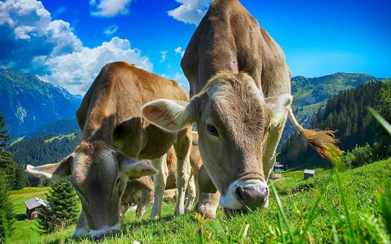 cows, best friends, life, humans, stranger, fiction