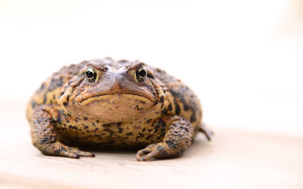 toad, history, life, facts, animals, weird, science, Britain