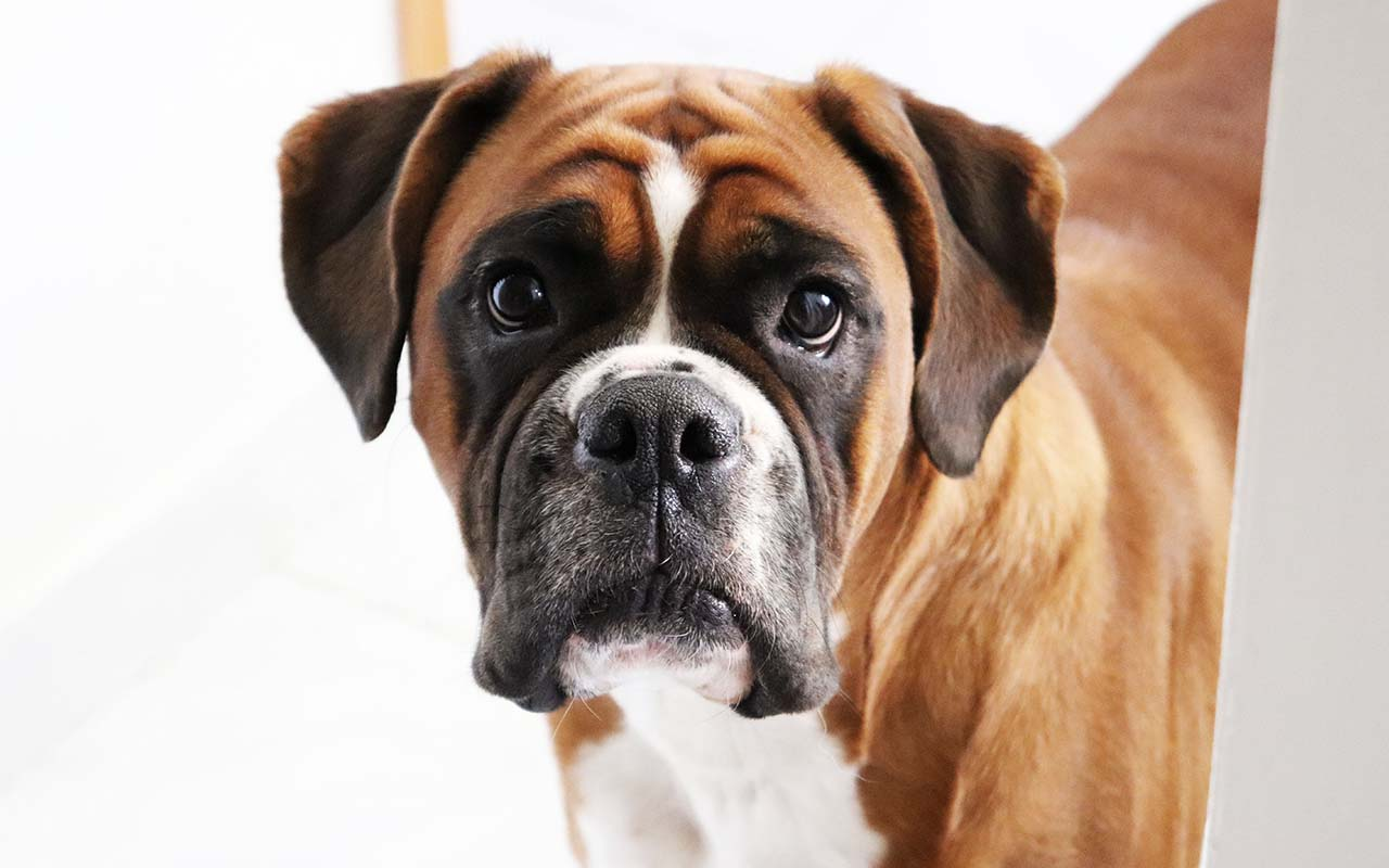 boxer, dog breeds, life, animals, people, loyal, friendly, intelligent, American Kennel Club