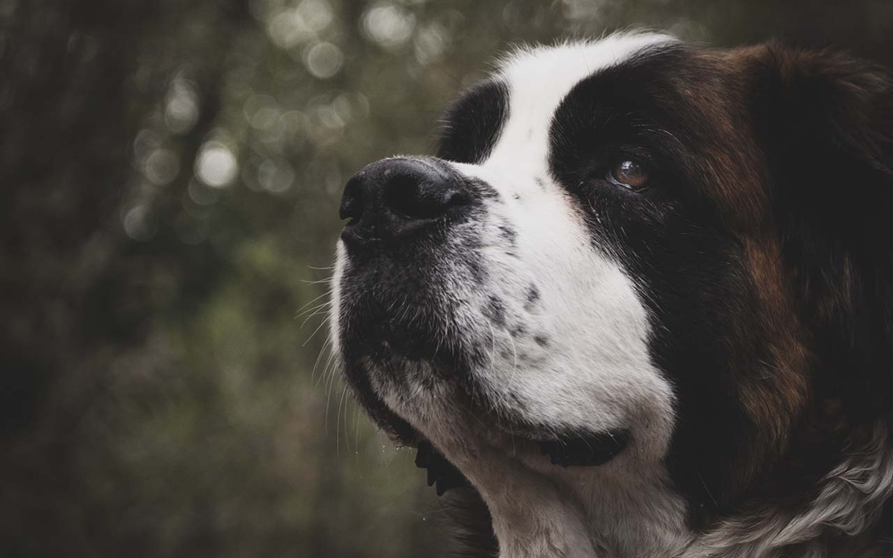 St. Bernard, dog breed, facts, nature, life, animals
