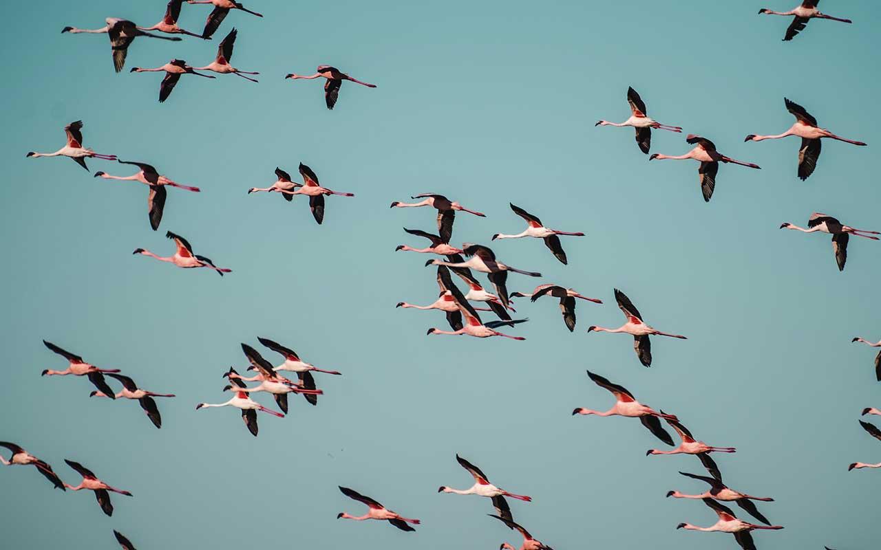 flamingos, flamboyance, facts, animals, wild, nature