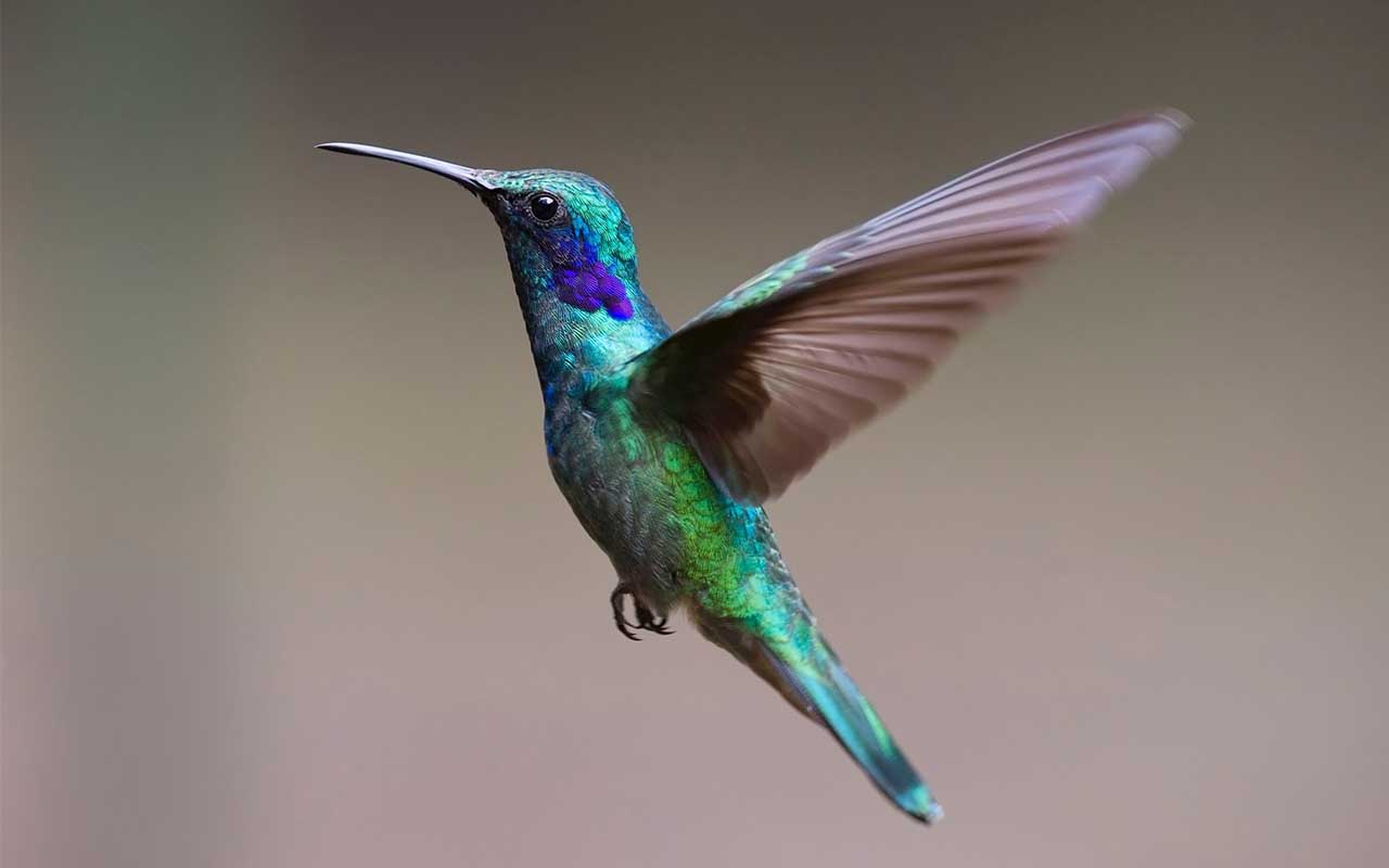 hummingbird, flying, nature, nectar, facts, science, species
