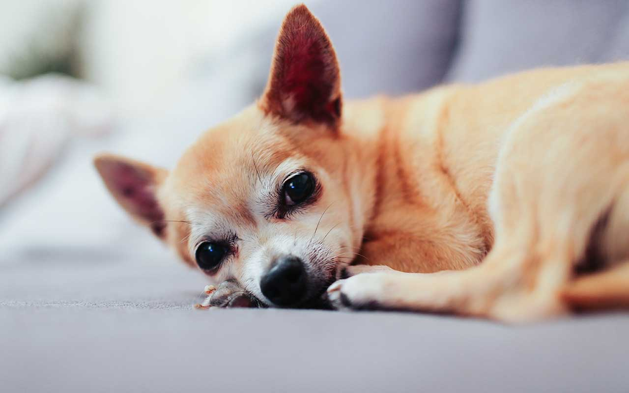 chihuahua, dog breed, smart, animals, pets