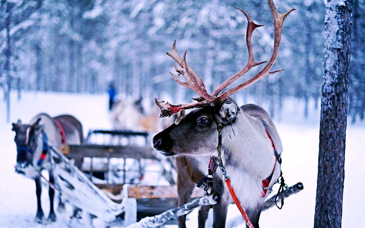 reindeer, eyes, color, blue, gold, facts, animals, Finland