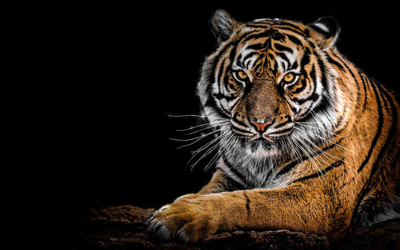 tiger, fur, striped, animals, wild, nature, camouflage
