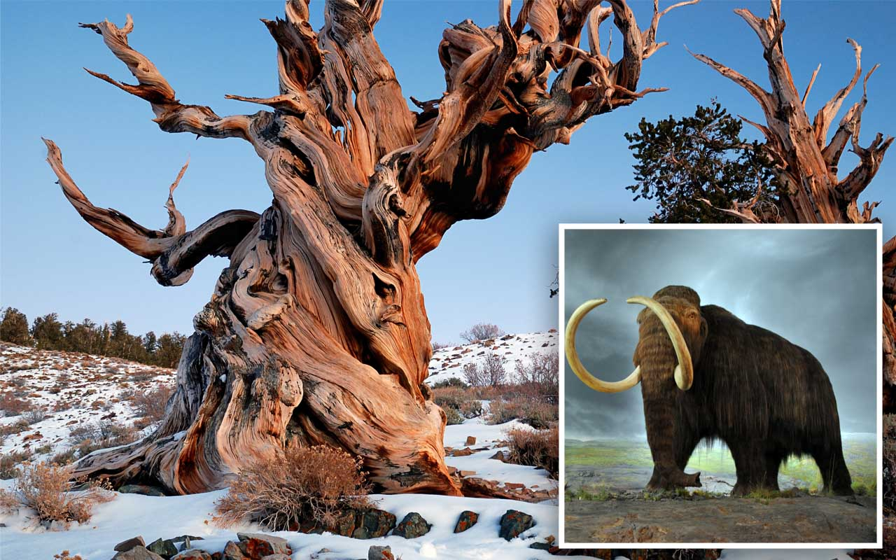 oldest living tree, Bristlecone pine, Arizona, location, secret, wooly mammoth, facts, history