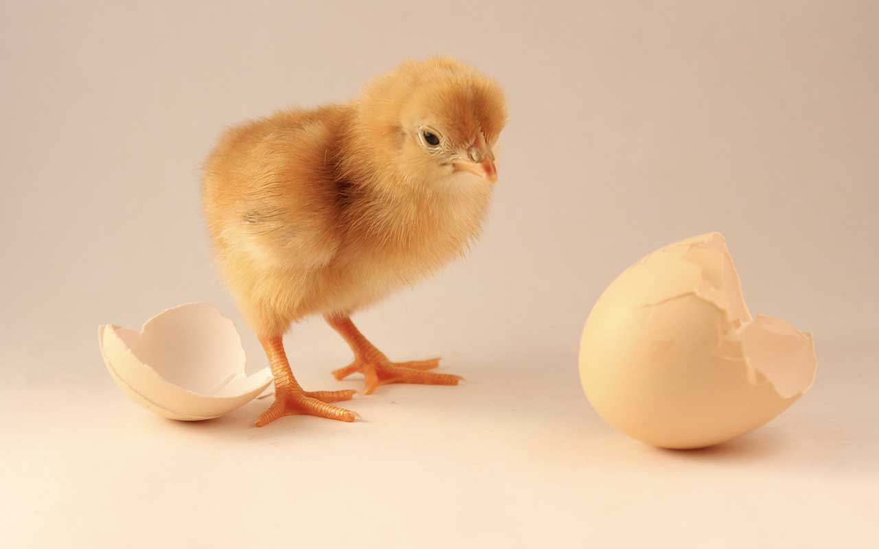 chicken, egg, first, facts, useless facts, people, animals