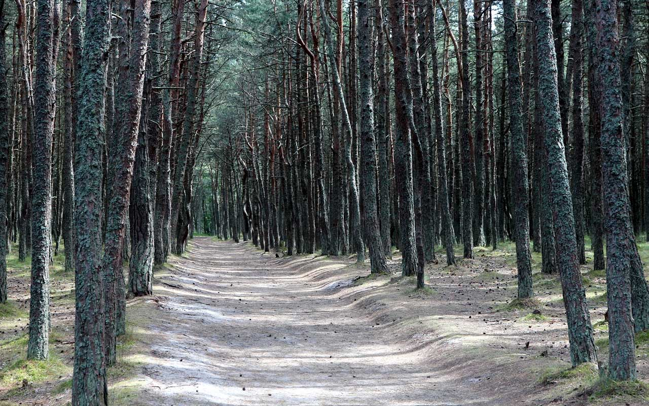 conifer, facts, pine trees, road, facts, life, people, history