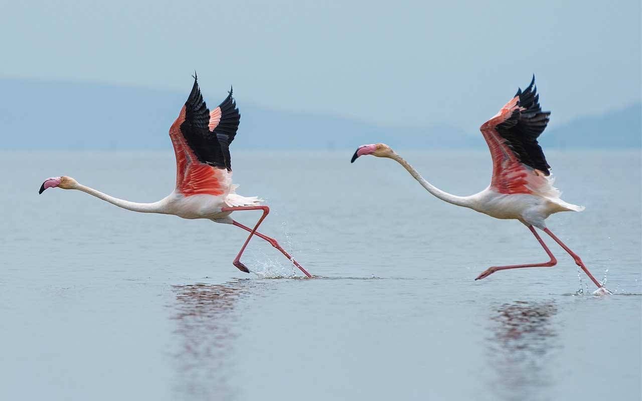 flamingo, knee, facts, science, animals, nature, Earth, weird facts, life