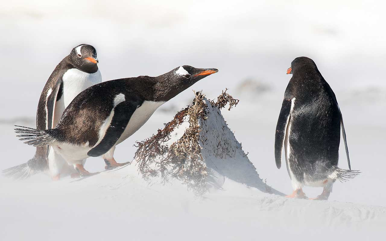 penguins, Antarctica, facts, ice, snow, life, animals, mammals, food, survival